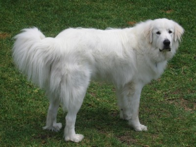 perro ovejero pirineo con pelo largo